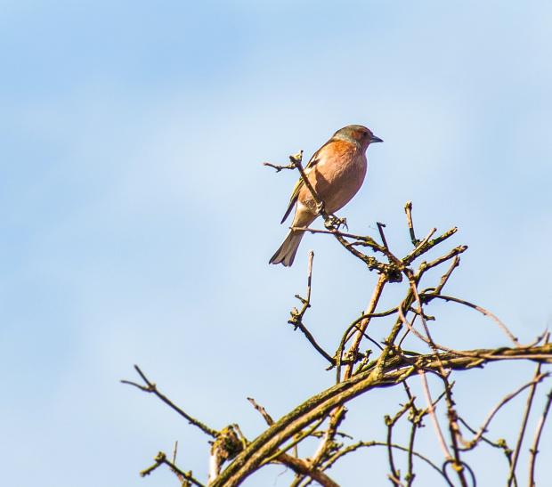Zięba-juz wyzej nie mozna siedziec:)) to znaczy to jest juz czubek mojego przyjaznego. drzewa:)) #ptaki #alicjaszrednicka #ogrody #zimowe #fotki