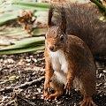 ta tez zagoscila chwilke ale niespodziewanie jak zwykle:)) #wiewiorki #ogrody #zima #natura #zwierzeta #alicjaszrednicka