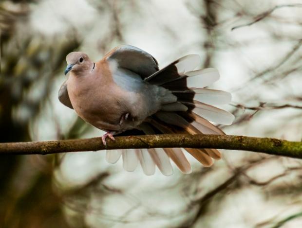 Golab Grzywacz (Ringeltaube) #ptaki #natura #przyroda #ogrody #alicjszrednicka