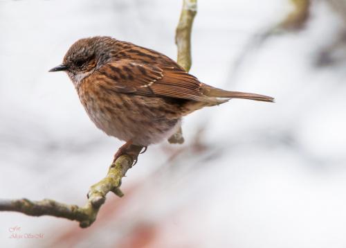 """""""Płochacz pokrzywnica """" (Prunella modularis) – gatunek małego ptaka z rodziny płochaczy (Prunellidae). #ptaki #zima #natura alicjaszrednicka-mondritzki"""