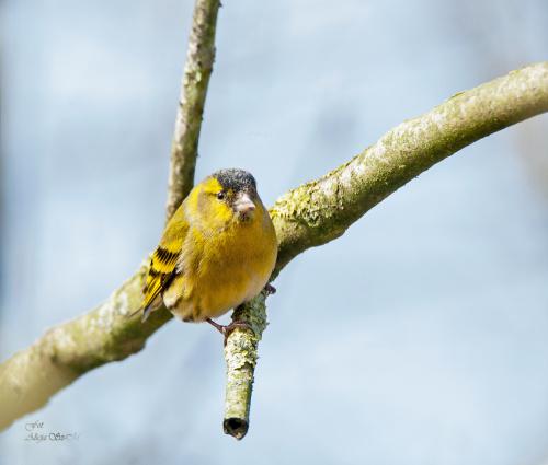 czyżyk-- #ptaki #ogrody alicjaszrednicka-mondritzki