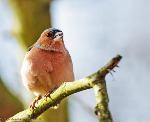 zieba #ptaki #przyroda #natura #ogrody