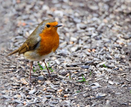 Rudzik,- #ptaki #ogrody #natura #przyroda