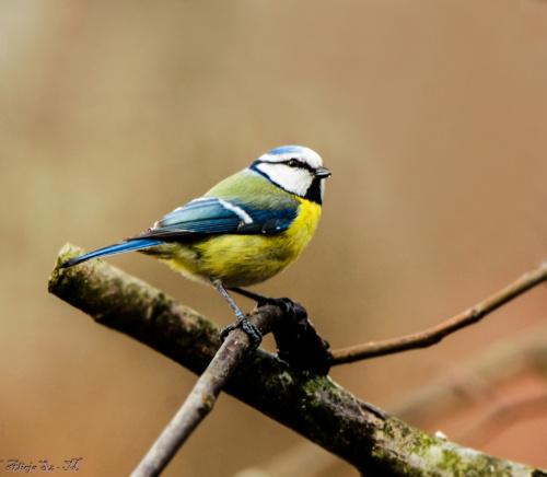 Modraszka,- #ptaki #ogrody #natura #przyroda