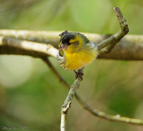Czyzyk,- #ptaki #ogrody #alicjaszrednicka #natura #przyroda