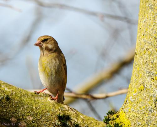 Dzwoniec:-- #ptaki #ogrody #natura #przyroda #modraszki #drozdy #dzwoniec