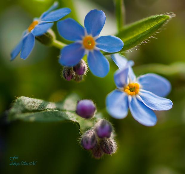 Niezapominajki,- #natura #przyroda #wiosna #niezabudki #niezapominajki