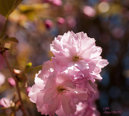 Kwiat japonskiej wisni..#kwiaty #ogrody #drzewa #natura #przyroda