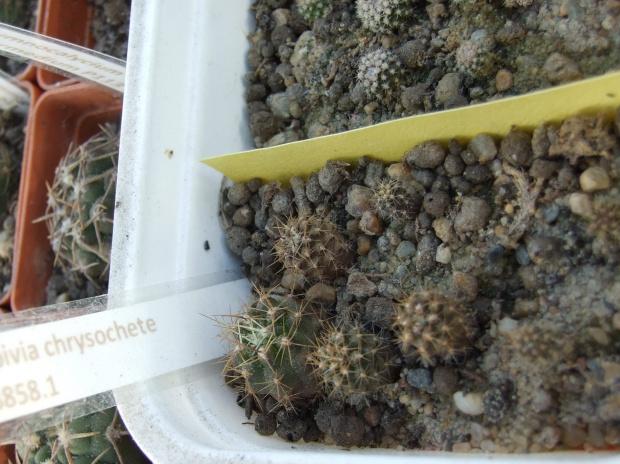 Zobacz Wątek Kaktusy Gracesz