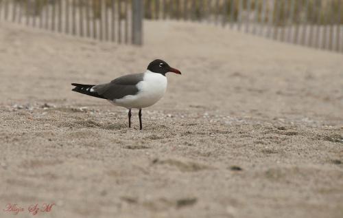 mewa karaibska#mewa #ptaki #atlantyk #plaze