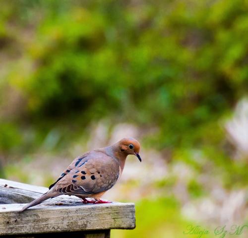 Zenaida (gołębie) #ptaki #polnocna #ameryka SC NC #alicjaszrednicka