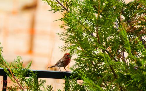Ptaki w ogrodzie w Poludniowej Carolinie,- #ptaki #Polnocnej i #Poludniowej #Caroliny #ptaki #alicjaszrednicka #ogrodySC #ameryka #polnocna