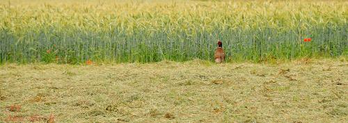Fasan czyli Bazant zwyczajny zyjacy dziko na polach Polnocnej Weastwalii ,a rowniez w mojej miejscowosci.chodza sobie swobodnie zdobiac pola i laki .. #natura #ptaki #Fasan #Bazant #natura #ogrody #alicjaszrednicka