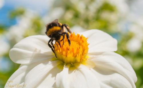 Bak na rumianku #insekty #kwiaty #rumianki #ogrody #lato #przyroda alicjaszrednicka-mondritzki
