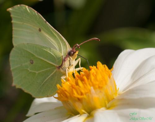 Latolistek cytrynek (2)  #natura #ogrody #cytrynek #motyle #macro #alicjaszrednicka