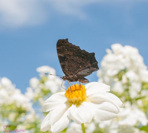 Rusalka na lewa strone.- #motyle #lato #natura #przyroda #ogrody alicjaszrednicka-mondritzki