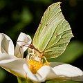 Cytrynek na rumianku #motyle #dalie #macro #lato