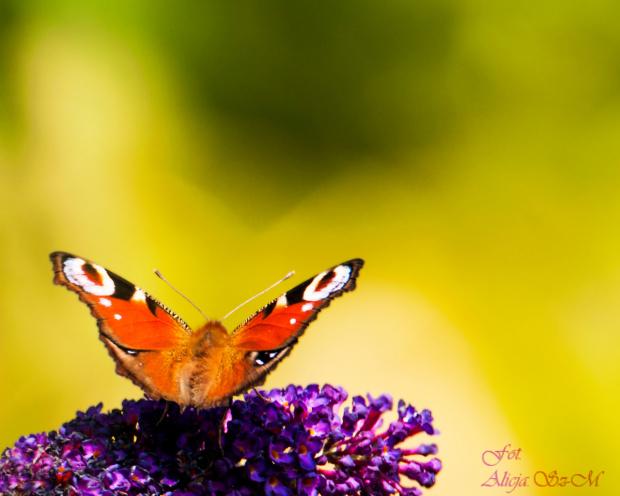 Rusalka - #motyle #ogrody #macro