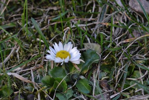 pierwsza ,,trawnikowa'' tegoroczna stokrotka :)