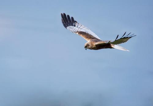 Z cyklu ptaki drapieżne
