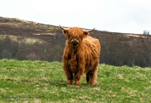 Highland Cattle :-)