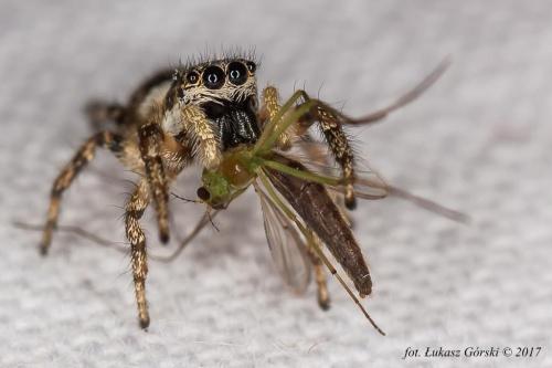 Skakun arlekinowy (Salticus scenicus).#pająk #skakun #arlekinowy #makro #owady