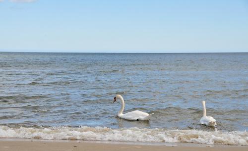 to takie jest mile ze te labedzie chodza wsrod ludzi naturalnie tylko przy brzegu morza :)nie boja sie ludzi #polskie #morze #natura