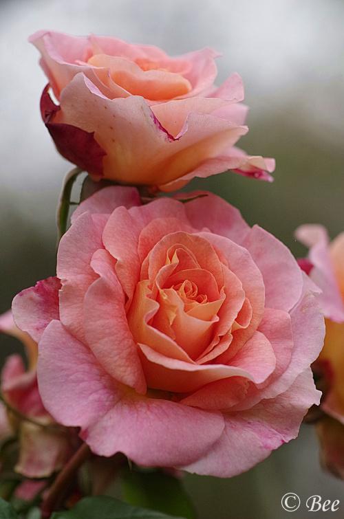 Jesienne róże...