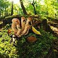 Foto 2 do tematu las..i co w nim ..ano tyle grzybow Opienkow ,ze musielismy zdejmowac kurtki i w nie pakowac,,niestety nic innego nie bylo ,pojechalam na zdjecia,,,,:)))ale byla uczta!! :)) #natura #lasy #opienki #grzyby #alicjaszrednicka