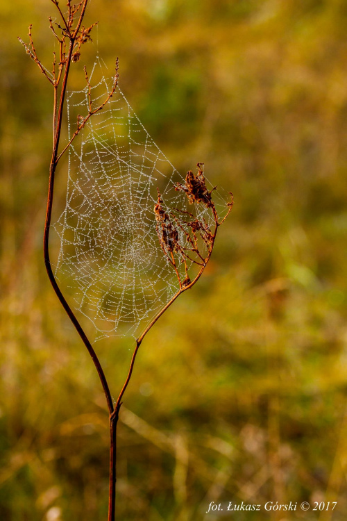 Muchołapka ;) #pajęczyna #krople