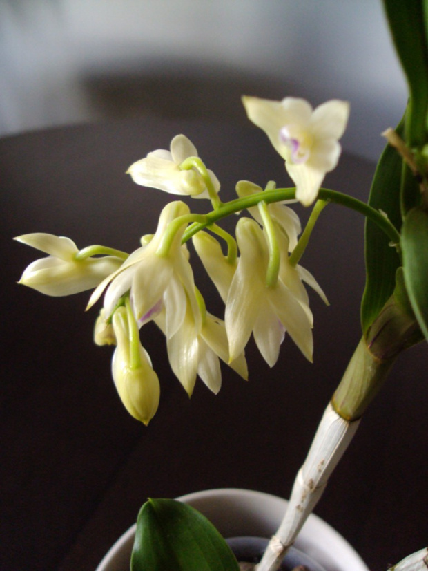 D. amethystoglossum